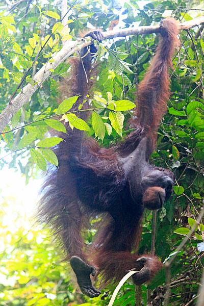 Wild Orangutan in Borneo forest